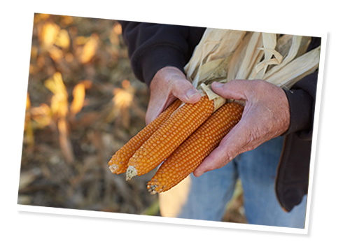 farmers hands with corn
